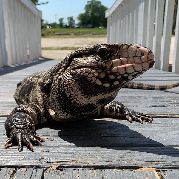 OBX Lizard Land Currituck County NC lizard